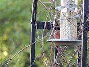 House finch on feeder.