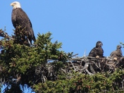 Two Bald Eagles looking out out of the nest
