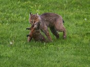 how to get rid of a woodchuck (without really trying)