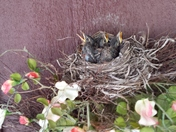 Baby robins June 9-15