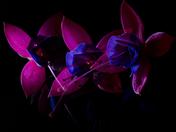 The Illuminated Fuchsia Series II