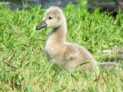 Fuman Black Swan