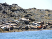 Casco Bay Seal Herd