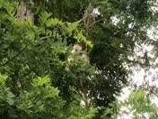 Albino porcupine