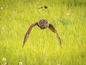 small bird chasing an owl