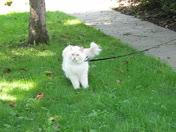 Cat walks on a leash