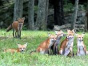 Invaded by Fox's
