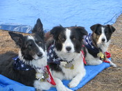 Patriotic pups-Lodi,Luke and Leo