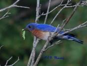 Papa Blue Bird