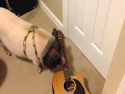 Pet pig plays the guitar