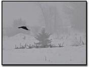 Crow in Fog