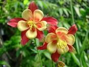origami columbine flowers
