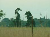 Cool Dinosaur Trees in Gentry?