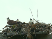 Osprey and family