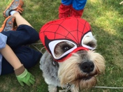 Trudy the Mini Schnauzer playing dress up as Spider Man