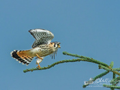 American Kestrel Taking Flight