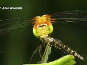 Mosquito predator!