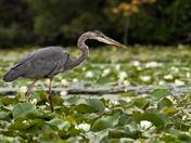 Blue Heron/Puslinch Lake On