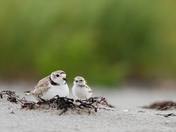 1a. Piping Plover and Chick