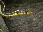 5c. Garter snake