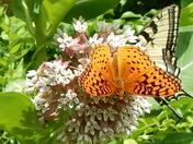 An more butterflies