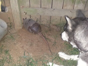 Armadillo vs My Husky (In my backyard)