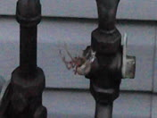 Spotted Orb Weaver