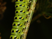 Black Swalowtail larva
