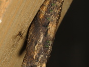 Black Swallowtail pupa