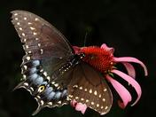 Black Swallowtail adult