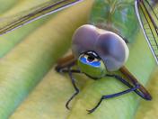 4c. Dragonfly