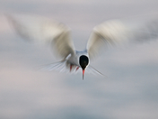 1c. Common tern