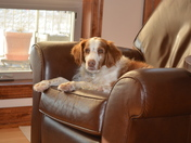 Ike the Brittany