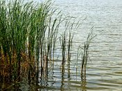 Reeds by the Shore