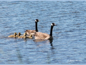 A Canada geese family...