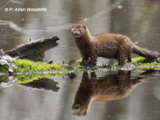 A mink reflects....