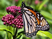 Monarch on the Milkweed