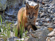 Posed fox
