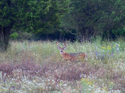 Buck in field of wildflowers