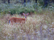 Fawn in field of Queen Annes Lace