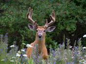 Buck in meadow