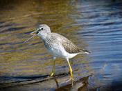 Birds- Greater Yellow Legs
