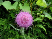 Waving Pink Thistle