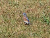 Eastern Bluebird-Pepperell, MA