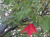 FW: Fall Leaf