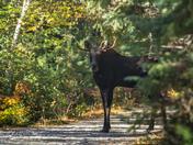 Little Bull Moose