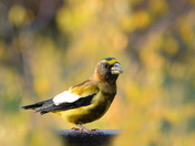 autumn evening grosbeak