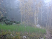 Hiking amid aspens and fog