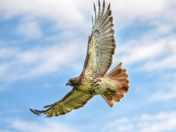 Red Tail Hawk Soaring in the skies above