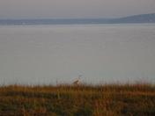 Heron at first light